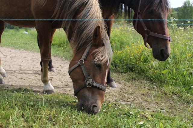 Hevonen Hevoset (5)