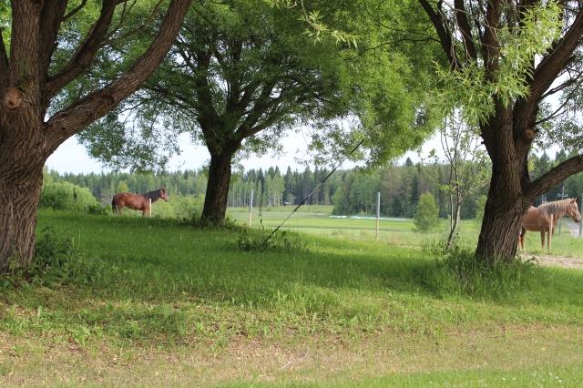 hevoset (4)